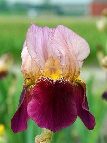iris radacina